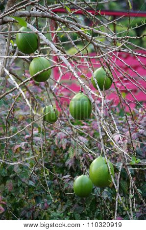 Crescentia Cujete, Commonly Known As The Calabash Tree