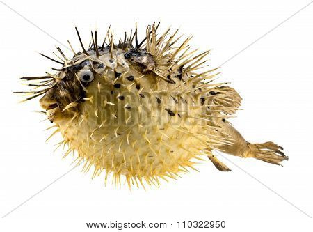Yellow Fish-hedgehog Isolated On White