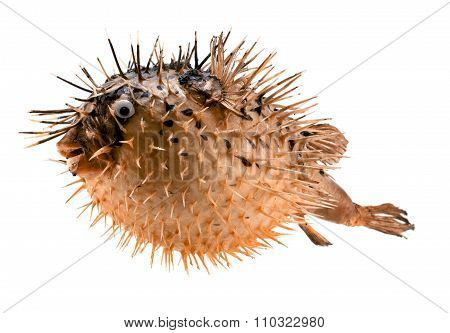 Orange Fish-hedgehog Isolated On White
