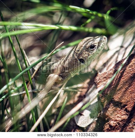 European Green Lizard (lacerta Viridis), Female