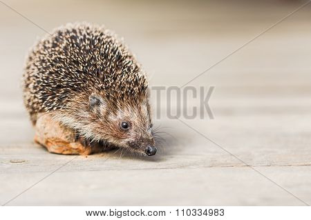 Beautiful Small Funny Hedgehog Standing On Stone