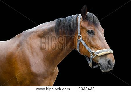 Horse isolated on a black background.