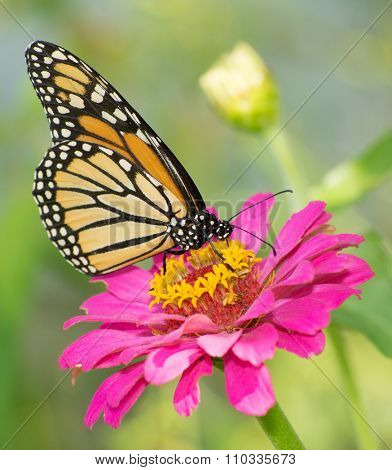Monarch butterfly feeding on pink Zinnia flower in summer garden