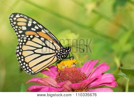 Female Monarch butterfly on Zinnia flower
