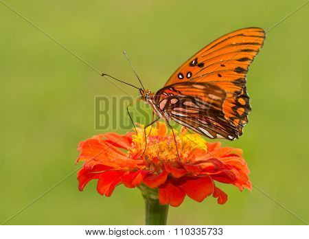 Agraulis vanillae, Gulf Fritillary butterfly on an orange Zinnia flower