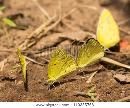 Puddling Little Yellow butterflies getting nutrients from soil
