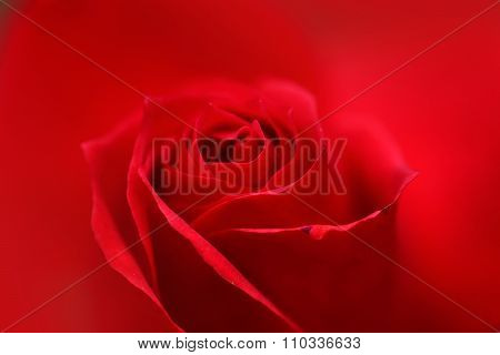Beautiful Fresh Red Rose Bud