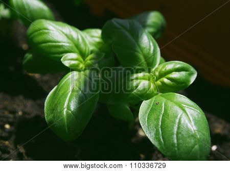 Basil growing in a garden pot