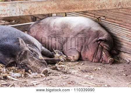 Thai Boar Sleep