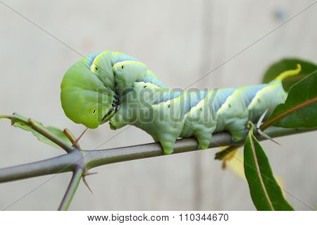 green caterpillar on limb