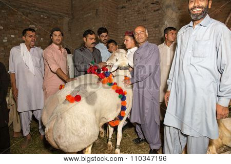 Peshawar, Pakistan, 23 Sep 2015: Vendor Selling Healthy Sheep 200-250 Kg Sheep For Eid Adha.people A
