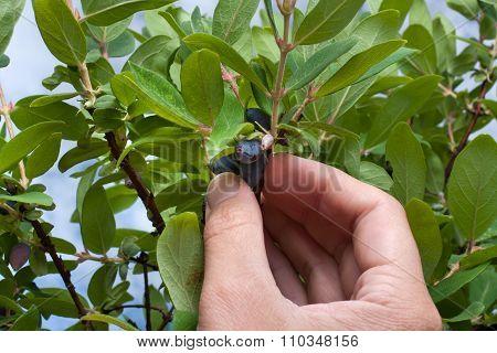 Hand Picking Berries Honeysuckle In The Garden