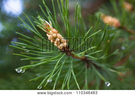 Strobile On The Pine Branch