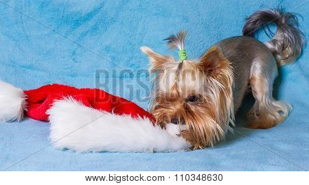 yorkie toy wearing a nice santa cap