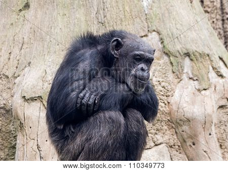Sitting Monkey Chimp In A Zoo On  Background Of Wood