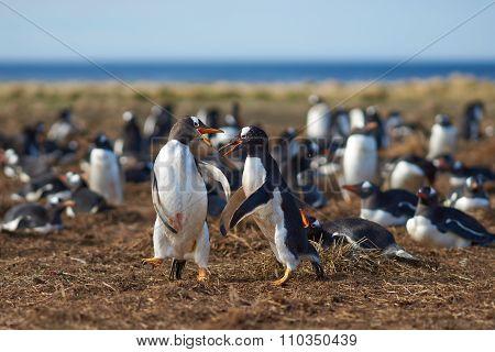 Gentoo Penguins Squabbling