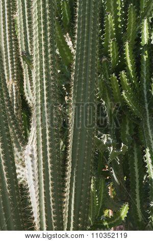 succulent thorny