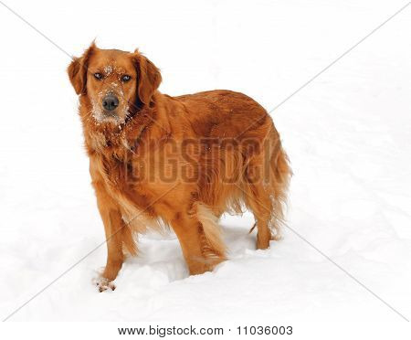 Golden Retriever In Winter Snow