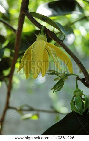 Climbing Ylang-Ylang Vine