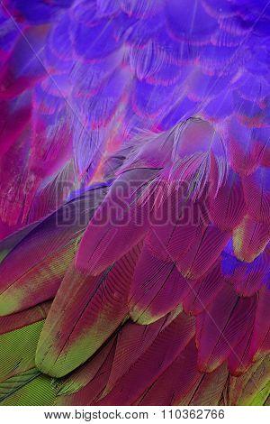 Green-winged Macaw (ara Chloropterus)