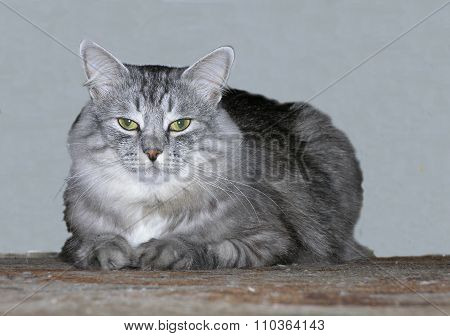Cat gray feathery with green eye