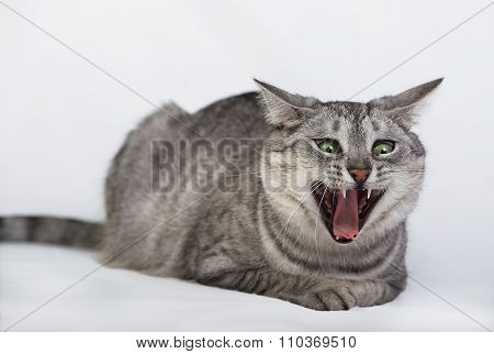 Cat portrait close up, amazing portrait of angry cat, cat in light brown and cream looking with plea