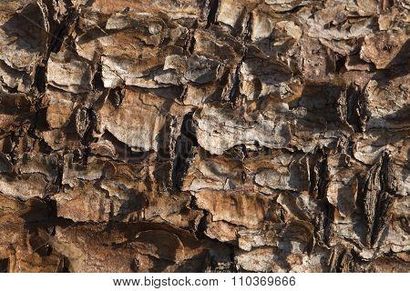 Flaking pine bark