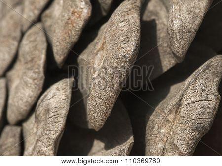 Pine cone, close-up