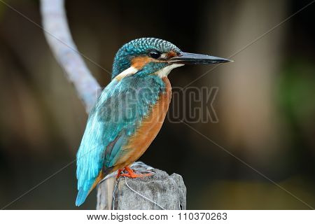 Male Common Kingfisher