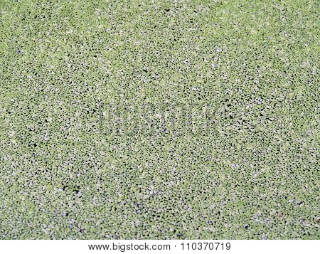 Duckweed , The Small Plants Are Ferns Found Growing On The Surface Of The Water