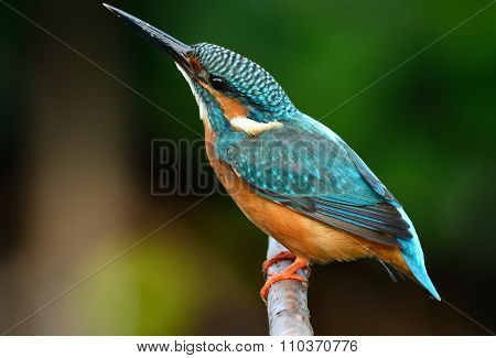 Male Common Kingfisher
