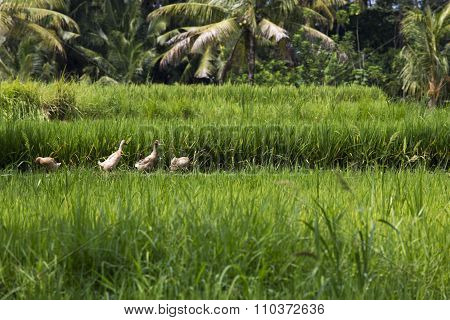 Ducks Pecking At A Rice Paddy In Ubud, Bali.