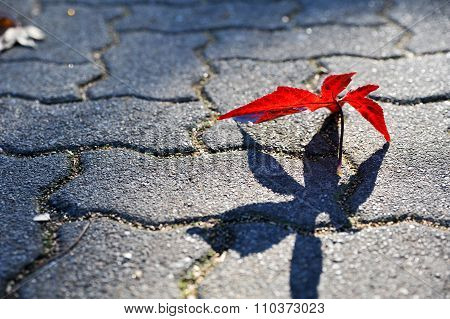 Red maple leaf with long shadow on the ground in Autumn