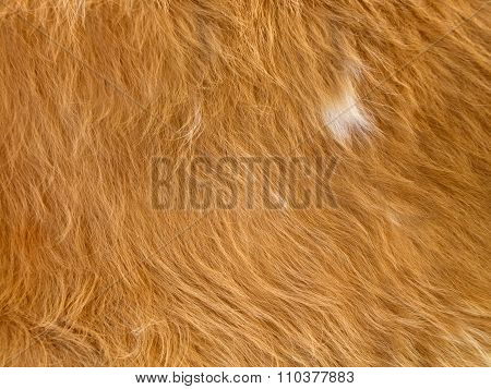 Close Up Of Yellowish-brown  Skinned Goat Fur