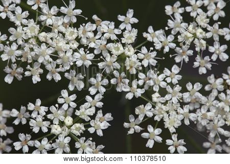 Saxifrage flowers close-up