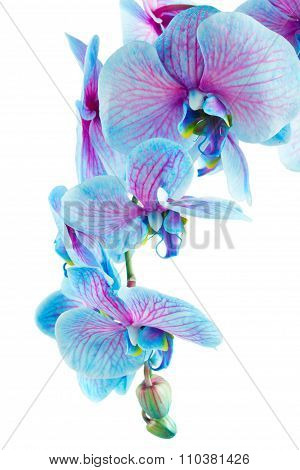 stem of blue orchids