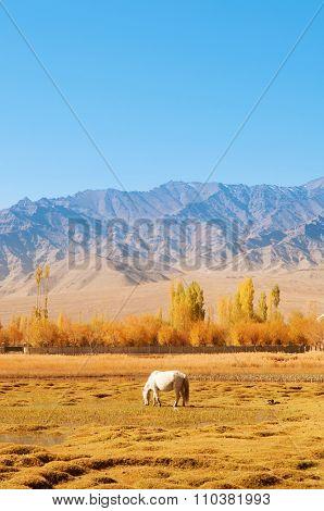 Horse eating grass at Holy Fish Pond, Shey Monastery, Leh Ladakh, India.