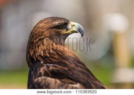 Golden Eagle  Angle Profile View