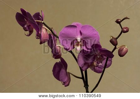 Potted Orchids Lilac