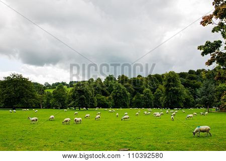 Flock Of Sheep On Beautiful Mountain Meadow In Peak District National Park