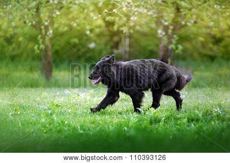Beautiful black dog with a long coat breed shepherd dog runs across the field