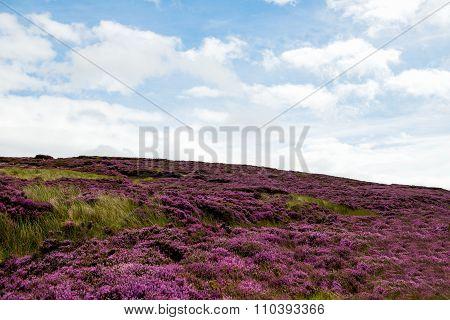 Purple Heather On The Peak District National Park