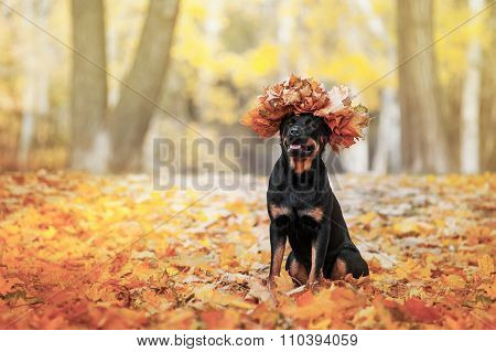Beautiful Rottweiler dog breed is sitting in the yellow autumn leaves on the forest background.