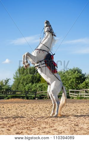 White stallion in the saddle and bridle standing on hind legs in the paddock.