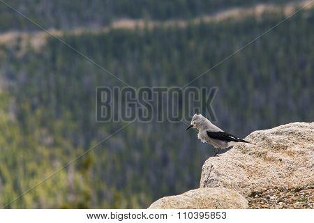 Clark's Nutcracker Bird with Pine Forest at Background