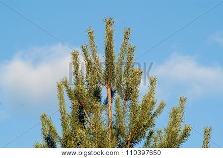 Young Beautiful Needles Of Green Color On A Fir-tree