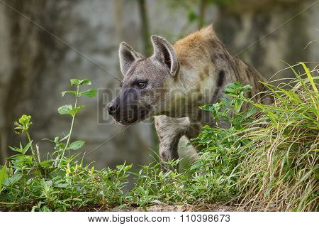Portrait Image Of A Spotted Hyena Standing