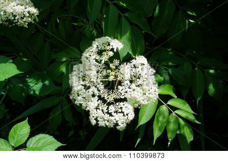 Elderberry Flower Cluster