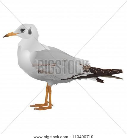 Seagull stands isolated on white
