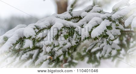 Light snow on evergreen pine tree bough